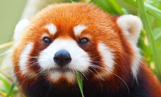 Клуб ДРУГ - Красная панда: Миниатюрный огненный «медвежонок»