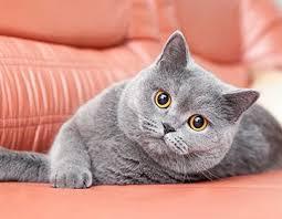 Клуб ДРУГ - Интересная история возникновения породы британской короткошерстной кошки