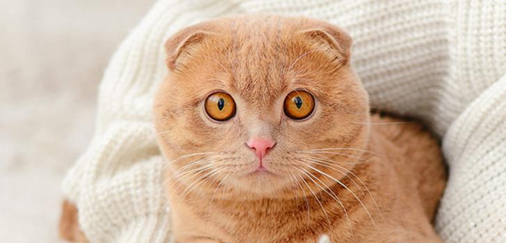 Клуб ДРУГ - Шотландская вислоухая кошка