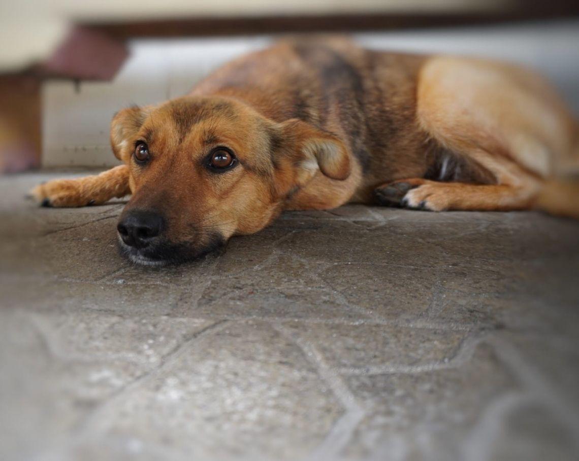 Собака Пальма в добрые руки - Березино, Минск