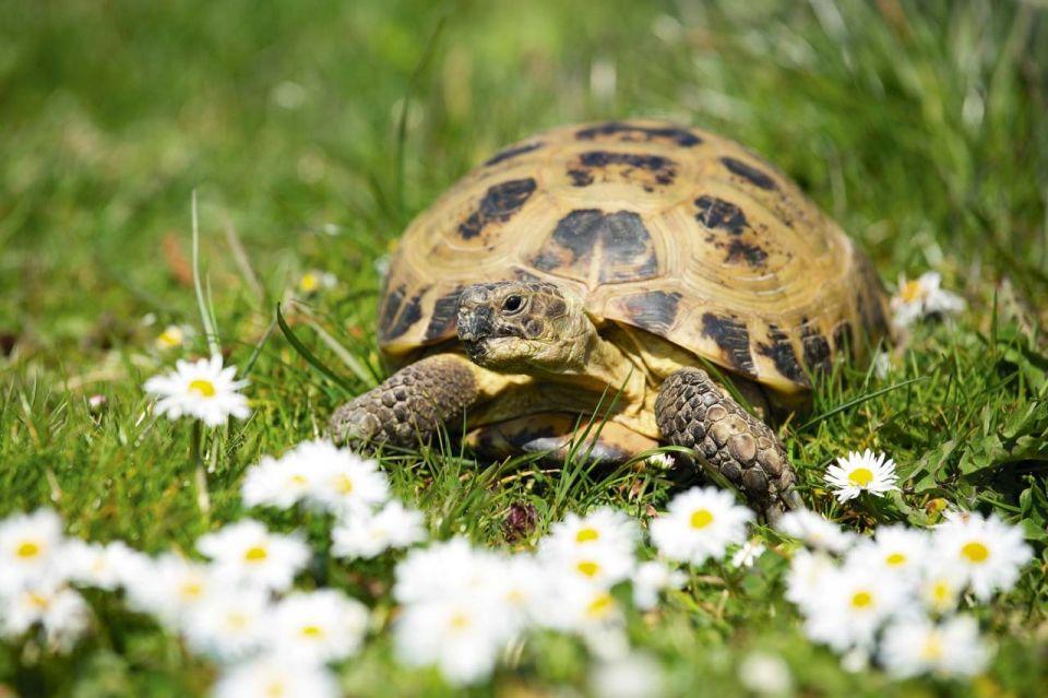 Домашняя среднеазиатская черепаха