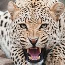 Ягуар - дикая кошка